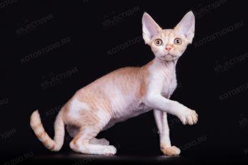 Solnyshko Lioness. Котенок породы Девон-рекс.