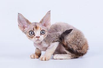 Котенок породы Девон-рекс