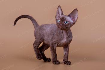 Котенок  из питомника Freyajoss.