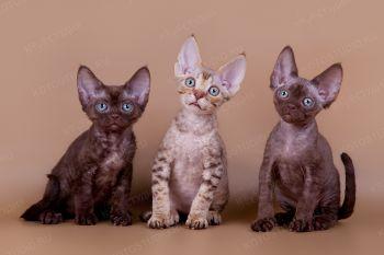 Котята  из питомника Freyajoss.