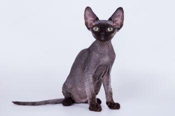 Котенок породы Девон-рекс.