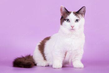 Кошка породы Манчкин.