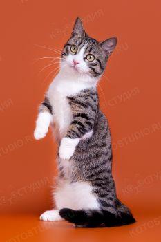 Кот породы Манчкин.