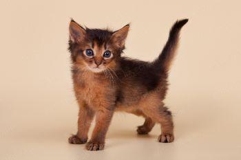Котенок породы Сомали.