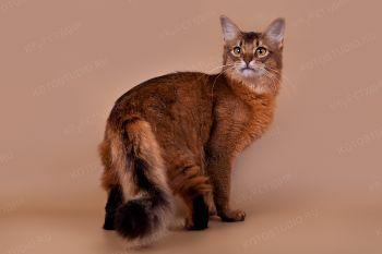 Кошка породы Сомали из г. Краснодар. <p>Кошка породы Сомали</p>