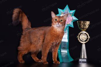 Кошка породы Сомали.