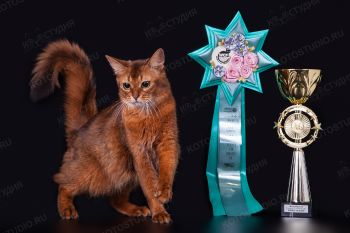 Кошечка породы Сомали.