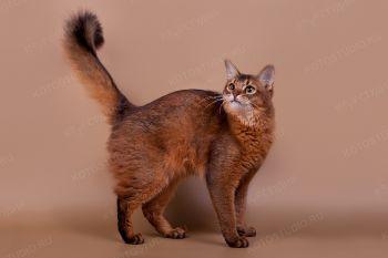 Regtime Aurora. <p>Кошка породы Сомали</p>