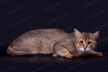 Кошка породы Чаузи из питомника Бенаби. Заводчик - Арина Земскова, г. Саратов