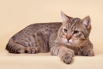 RusFairyTail Frant, кот породы Пиксибоб. Питомник RusFairyTail.