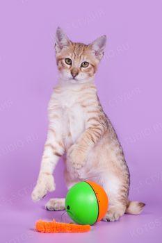RusFairyTail Florizel, котенок породы Пиксибоб. Пиксибоб из питомника RusFairyTail.
