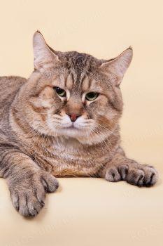 Living Legend Charles Lindpurgh, питомник MyHomeLynx. Кот породы Пиксибоб, владелец Карпенко Наталья, г.Екатеринбург.