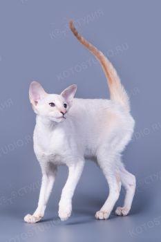 Кошка Сиамской породы.