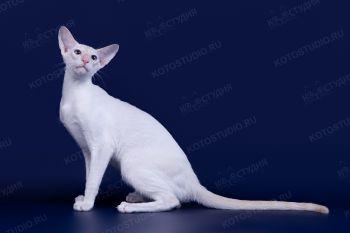Сиамский кот из г. Саранска.