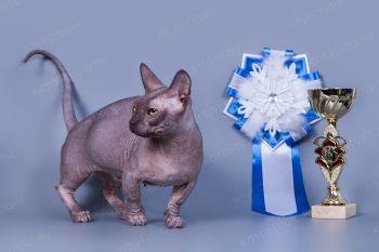 Кошка породы Бамбино.