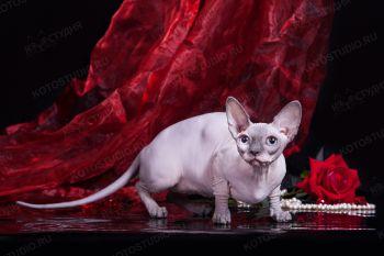 Theolanta Vintage. Кошка породы Бамбино, питомник Чёрный Бриллиант, заводчик Крюкова Ольга.