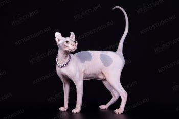 Кошка породы Эльф.