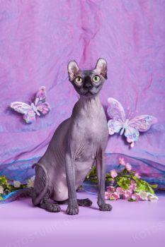 Goji Berry Lunabella. Кошка породы Бамбино, питомник Чёрный Бриллиант, заводчик Крюкова Ольга.