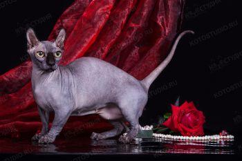 Candy, кошка породы Двэльф. Питомник Чёрный Бриллиант, заводчик Крюкова Ольга.