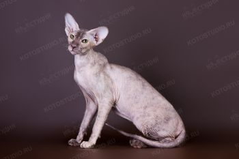 Zenona Aurum Excelsior. <p>Кошечка породы Петербуржский сфинкс, г. Астрахань</p>