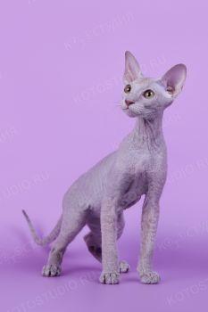 Felicia - кошка породы Петерболд. <p>Из города Волгоград</p>