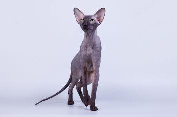 Кошка породы Петерболд.