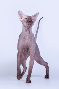 Amon-Ra. <p>Кот породы Петербуржский сфинкс</p>