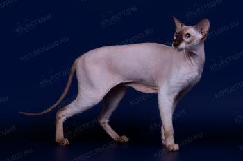 Cacharel Promesse Baby Bonny Cat. <p>Кошка породы Петерболд из г. Сочи</p>
