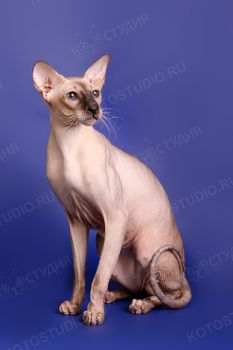 Dezmond del Iris. <p>Кот породы Петерболд из питомника