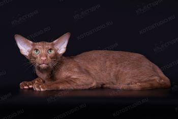 Ориентальный кот Lord Paradise Club из питомника Samarskaya Fortuna. Циннамоновый окрас.