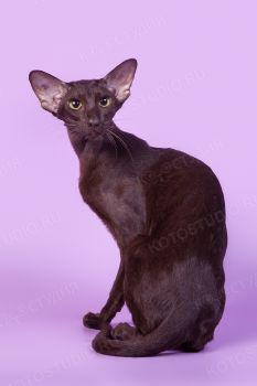 Freya of Niori, шоколадная ориентальная кошка. Питомник Samarskaya Fortuna.