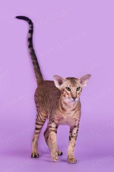 Ориентальный кот HR*Cat Global Vincent. Окрас черный пятнистый, питомник Samarskaya Fortuna.