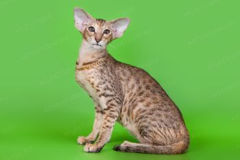 Xurma Samarskaya Fortuna. Ориентальная кошка окраса черная пятнистая черепашка, питомник