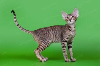 Ориентальная кошка.