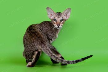 Tiida Elst Pizarro. <p>Ориентальная кошка, владелец Ольга Матюшина, г. Новороссийск</p>