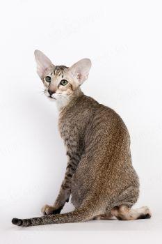 Tau Jubatus. <p>Кот Ориентальной породы</p>