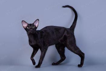 Кошка Ориентальной породы.