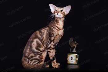 Sultan Best Samarskaya Fortuna. Ориентальный кот черного мраморного окраса из питомника Samarskaya Fortuna.