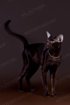 Aman Tefnut. <p>Ориентальный кот окраса Гавана</p>