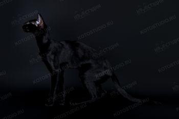 RU Meekahoo DeTomaso Guara. <p>Ориентальная кошка</p>