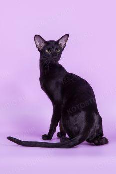 Monna Lisa Samarskaya Fortuna. Черная ориентальная кошка, питомник Samarskiy Pride.