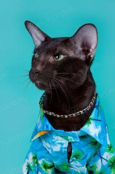 Ориентальный кот Aman Tefnut окраса гавана.