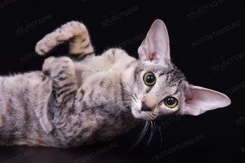 Ryabinka Samarskaya Fortuna, черная пятнистая черепашка. Кошка ориентальной породы из питомника Samarskaya Fortuna.