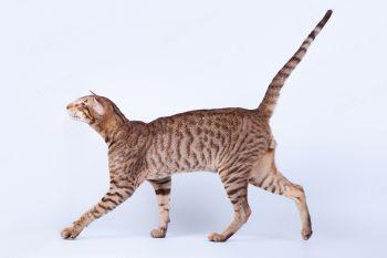 LT Monoceros Icarus. <p>Ориентальный кот из г. Самара</p>