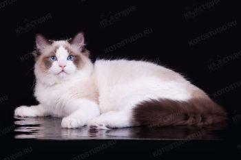 Кошка породы Рэгдолл.