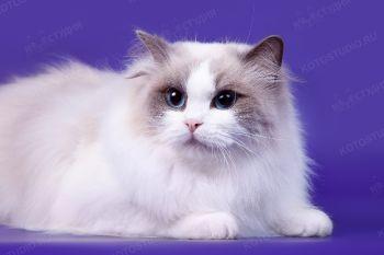 Hugaragdoll Princess Purrcilla. <p>Кошка Рэгдолл</p>