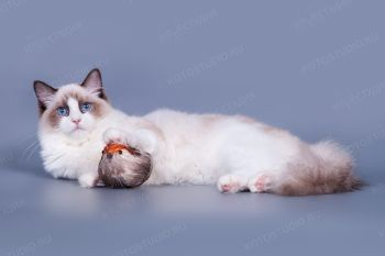 KOLA Friendly Ragdoll*PL. Кошка породы рэгдолл из питомника ViolettElle.