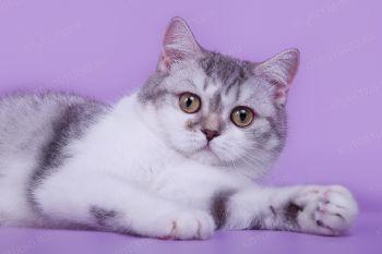 Рафаэлла, шотландская прямоухая кошка.