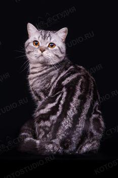 Индиго Литтл Джой, питомник Литтл Джой г. Саратов. Шотландская короткошерстная порода, черный серебристый мраморный окрас.