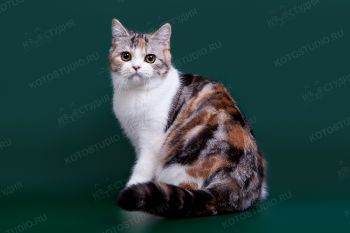 Aquarelle De La Fel. <p>Кошка Шотландская прямоухая</p>